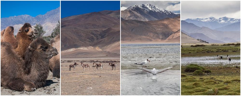 Ladakh_wildlife